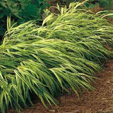 Japanese ornamental grass for Japanese ornamental grass varieties