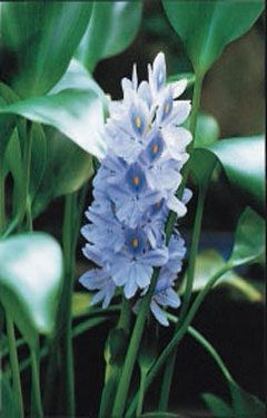 One year i left my water hyacinths in our pond over winter for Pond plants that survive winter