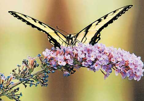 Types of Butterflies, Butterfly Types