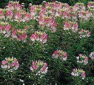 cleome sparkler lavender