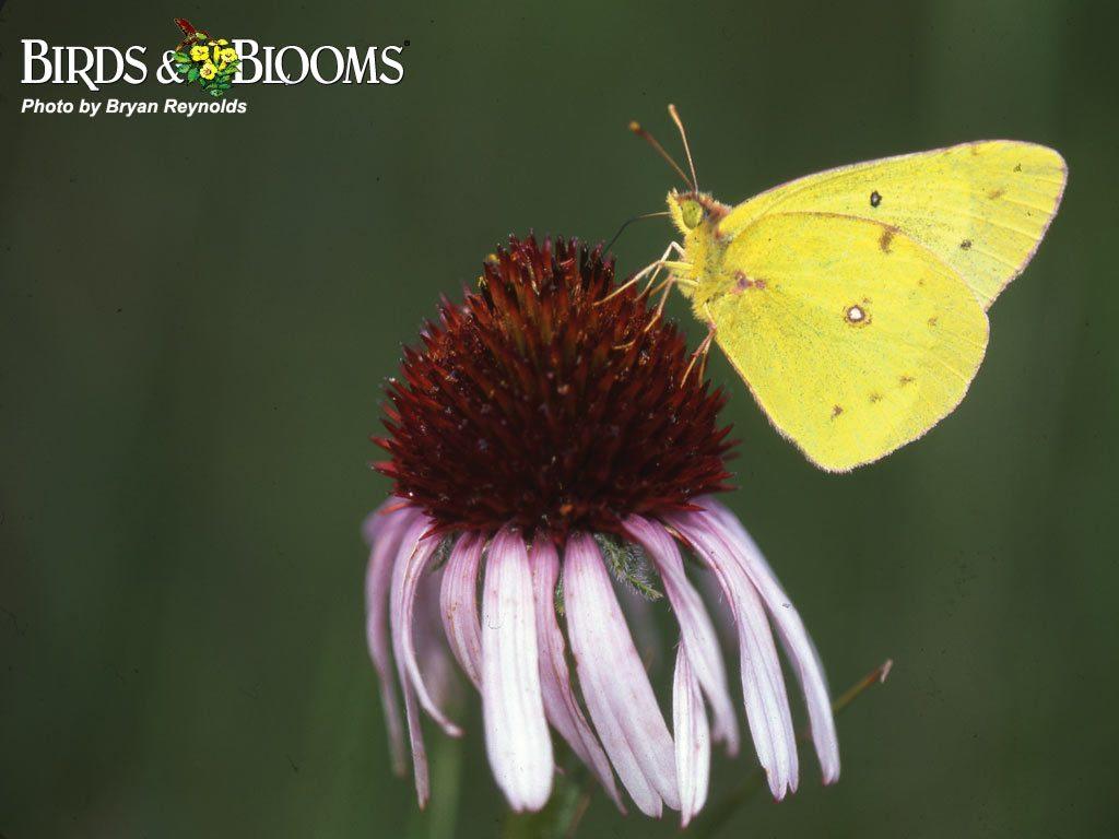images of backyard birds desktop wallpaper butterflies sc