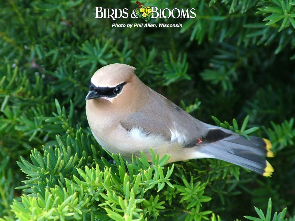 Birds And Blooms Wallpaper Plants - c - cedrus - page 25