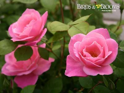 Mae D. Cox took this photo of a group of beautiful pink roses.