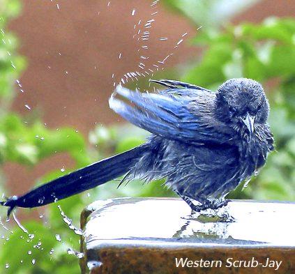 Western Scrub-Jay