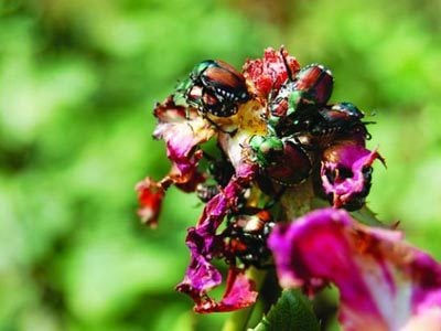 Japanese beetles