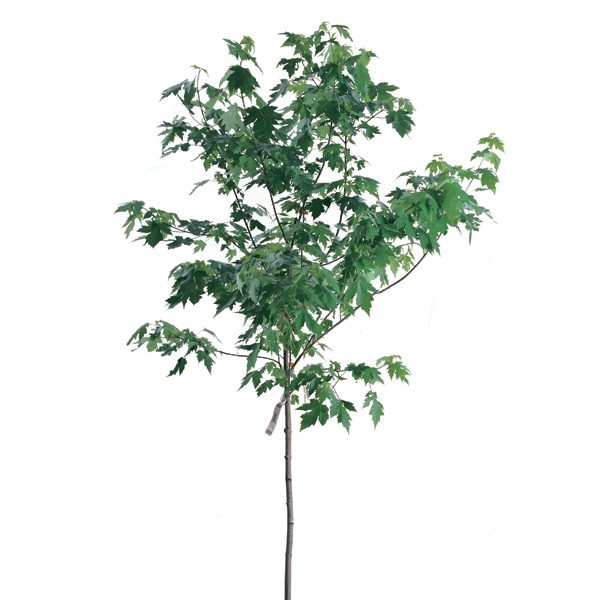How to plant a maple tree the family handyman for Tree sapling