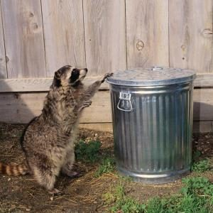 Raccoons: How to Keep Them Out of Your Yard