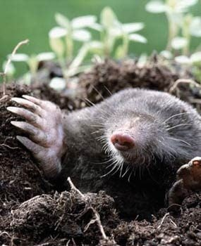 Moles love grubs