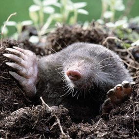 How to Trap Moles