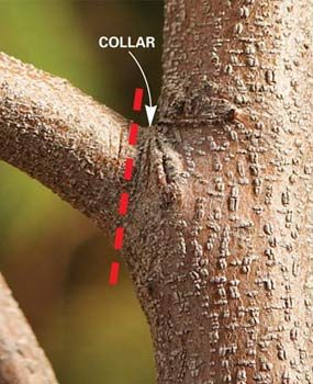 Branch collar location