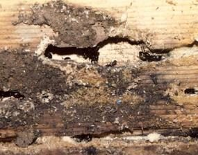 Photo 4: Carpenter ant damage