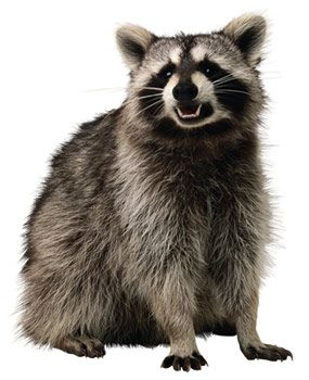 Raccoons can chew up a lot of stuff fast.
