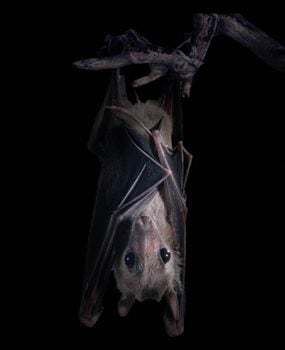 Bats are a common home emergency. Here's a guide for how to get rid of them.