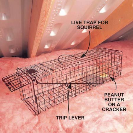 <b>Photo 4: Trap squirrels in the attic</b></br> Place a live squirrel trap in the attic near the nesting area or entry point. Peanut butter on a cracker makes good squirrel bait. Check the cage daily and release the squirrel outside as soon as possible. Use caution and wear heavy gloves, since the squirrel will not be happy.