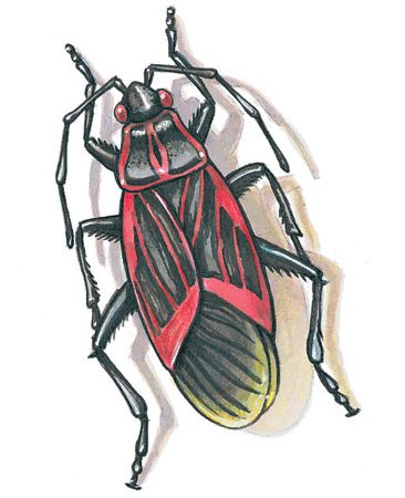 <b>Box elder bug swarm</b><br/>When box elder bugs swarm in the fall, you may think they're taking over your house&mdash;maybe even the world! Even though they're harmless, here's a solution. Look for major congregations of bugs outdoors and spray them with a strong solution of soapy water. Keep the spray bottle handy, and spray wherever they recongregate.