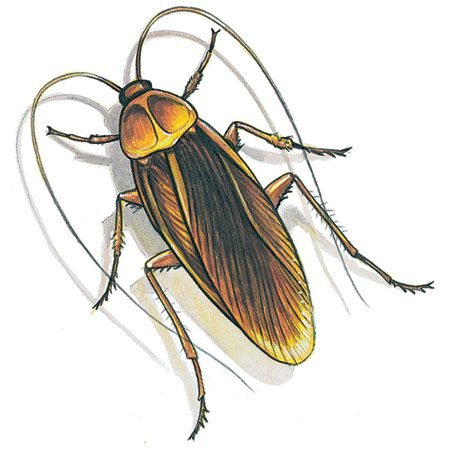 <b>Roaches</b></br> The first step in controlling them is eliminating all food and water sources.