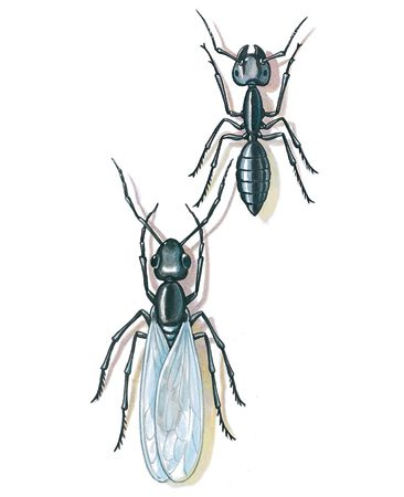 <b>Carpenter ants</b></br> Carpenter ants tunnel through wood, but don't eat it. Reproductive carpenter ants are winged, and when you see them they're leaving the nest.