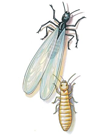 <b>Reproductive and worker termites</b><br/>Flying termites can leave piles of wings behind. Worker termites stay hidden in the safety of tunnels and nests.
