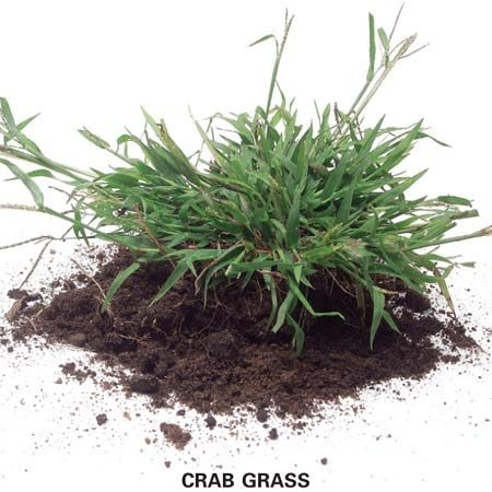 <b>Photo 3: Annual grassy weeds</b></br> Annual grassy weeds like crab grass reseed themselves near the end of the growing season and then die. The seeds germinate the following spring to grow new plants.