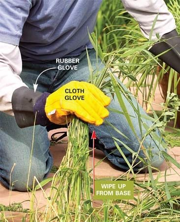 <b>Use a non-selective plant killer</b></br> Individually coat weeds with a glove dipped in herbicide solution. Note the protective rubber glove under the cloth glove.