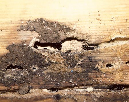 <b>Spray nests with indoor insecticide</b><br/>Look for water-damaged areas in the house and places where water has recently leaked to find the ant nest. Spray the nest with an indoor insecticide. <br/>Photo courtesy of Jeff Hahn, University of Minnesota