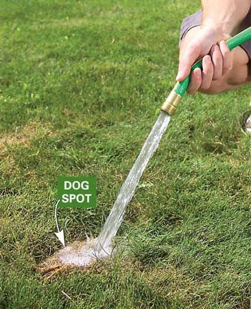 <b>Photo 1: Soak</b></br> Soak the patch until the grass is sopping wet to dilute the urine acids and salts and wash them deeper into the soil, beyond the grass roots.