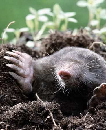 <b>Moles love grubs</b></br> <p>A grub problem is often indicated by increased mole, bird and raccoon activity. They dig up and feed on grubs at night. This may sound good, but moles kill your grass along with the grubs.</p>  <p>(Photo by fotosearch.)</p>