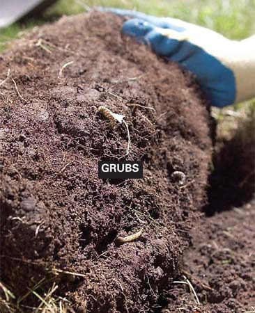 <b>Photo 1: Check for grubs</b></br> Pierce lawn with a shovel in a U-shape. Peel back the lawn (as though rolling up a rug) and count the white grubs in a 1-sq.-ft. area.