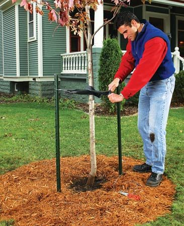 <b>Mulching a young tree</b></br> Mulch provides a buffer zone to keep lawnmowers and weed whips away from young trees.