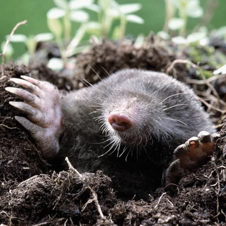 <b>Common mole</b><br/>Moles dig tunnels just under the turf, searching for worms and grubs. <br/>Photo courtesy of Fotosearch.