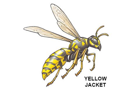 <b>Yellow jacket</b></br> You don't want these pests hanging around your home.