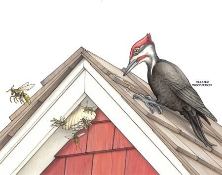 <b>Pileated woodpecker</b></br> These birds can cause serious damage to your home.