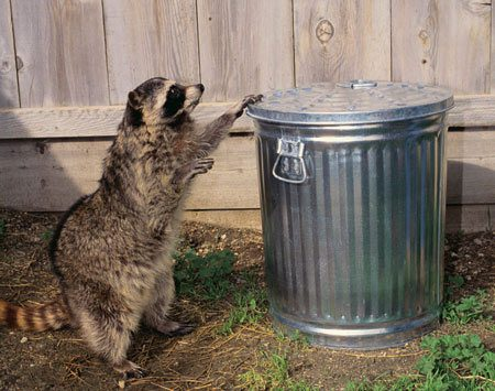 <b>Looking for snacks</b><br/>Raccoons are intelligent and good with their hands, and can easily open a loosely closed garbage can.<br/>Photo by Getty Images (RF)