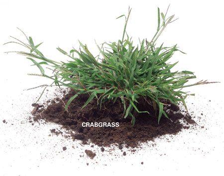 <b>Crabgrass</b><br/>Crabgrass is one of the most common annual grassy weeds.