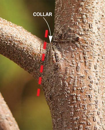 <b>Branch collar location</b></br> Cut or saw branches at the collar— just above where the branch joins the main trunk.