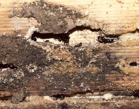 <b>Photo 4: Carpenter ant damage</b><br/>Look for water-damaged areas in the house and places where water has recently leaked to find the ant nest. Spray the nest with an indoor insecticide.