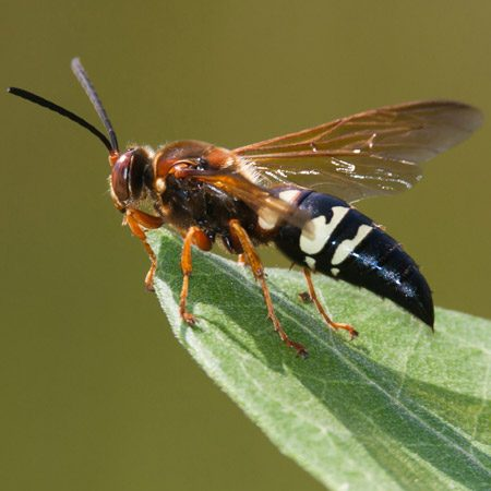 <b>Burrowing wasps</b><br/><p>&ldquo;I have one heck of a yard  nightmare&hellip;   huge mounds of dirt in our  yard filled   with huge&mdash;and I mean  huge&mdash;Jurassic-size cicada killer wasps.  Their tunnels   have killed the grass, and  they   come back every year.&rdquo;</p> <p><strong>Jill Bucolo, Field Editor</strong></p><br/>Photo provided by Clarence Holmes