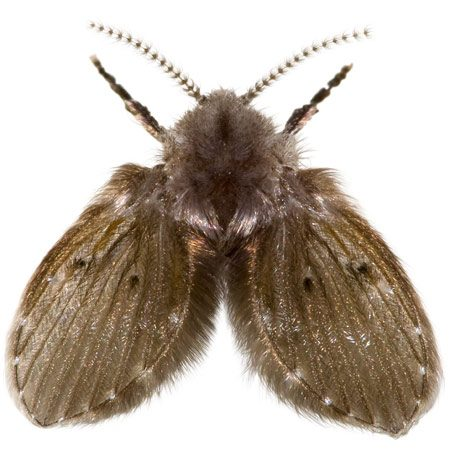 """<b>Drain fly</b></br> <p>Tiny drain flies are harmless  but can   gather in huge numbers in your   house. They're sometimes  mistaken   for fruit flies, but they  actually live on   the gunky slime in your  drainpipes.   Field Editor Lindsay McLeod  told us   about a recent plague of drain  flies in   her basement.</p> <p>""""An exterminator would have   charged $65 to come  investigate plus   the cost of exterminating.  Instead, I   poured a teaspoon of bleach  down the   basement drain and the flies  started   pouring out! Gross! So I  poured a little   more bleach in, blocked the  drain   hole, waited an hour and  presto! No   more drain flies!""""</p> <p>If the bleach doesn't work,  experts   suggest starving the flies by  cleaning   the gunky slime out of the  drain with a long-handled brush.</p>"""