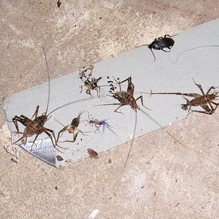 <b>Crickets</b></br> <div><img src='http://images.reimanpub.com/TFH/Step-By-Step/FH12JUN_BUGCRI_23.JPG' alt='Crickets Expert' width='100' border='0' style='max-width: 150px; float: left; margin-right: 10px;' title='Matt Langford' /> <div style='margin-top: 0px; clear: both; font-style: italic; font-size: 10px; padding: 5px; width: 88px; float: left; margin-right:10px; border-left: 1pt solid #cccccc; border-right: 1pt solid #cccccc; border-bottom: 1pt solid #cccccc;'> Matt Langford<br /></div></div><p>A lot of cricket-like bugs had   taken up residence in my  basement.   I'm concerned about   chemicals in bug sprays, so I  came up with this simple trap—duct   tape. I set out a long strip  of duct tape sticky side up in my basement.   When I returned a couple of  days later, I found it had about 15   to 20 bugs attached. Since  then, I have set tape out several times with the same   results. </p> <p><strong>Matt Langford</strong></p> <p><strong>Editors' Note: </strong>To  permanently banish crickets, seal entrances by caulking around basement windows. Also dehumidify your  basement—they like damp areas. </p>
