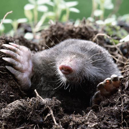<b>Mole control</b><br/><p>&ldquo;Get  rid of the grubs that are their food source,&rdquo;   suggests  Field Editor Jerry Young. &ldquo;Use a good   grub  insecticide in the spring and again in   July and you&rsquo;ll starve out the moles.&rdquo; </p><br/>Photo provided by Getty