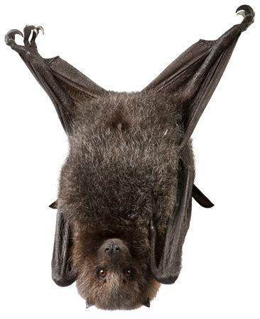 "<b>Control bats</b></br> <p>When Field Editor Chris Phelps   counted 70 bats exiting his  attic one   evening, he knew he had   a problem. He quickly   discovered the solution—a bat exclusion   door—which lets bats   out but won't let them   back in. One type of  ""exclusion door""   is a piece of netting that  hangs a foot   below the bats' exit point.  You tape   the netting along the top and  sides   but leave the bottom free. The  bats   will slip out the open bottom,  but   won't be able to fly back in.</p>"