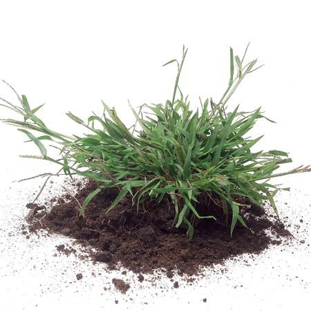 <b>Crabgrass close-up</b><br/>Spread crabgrass preventer between the second and third mowings to knock out crabgrass before it sprouts.