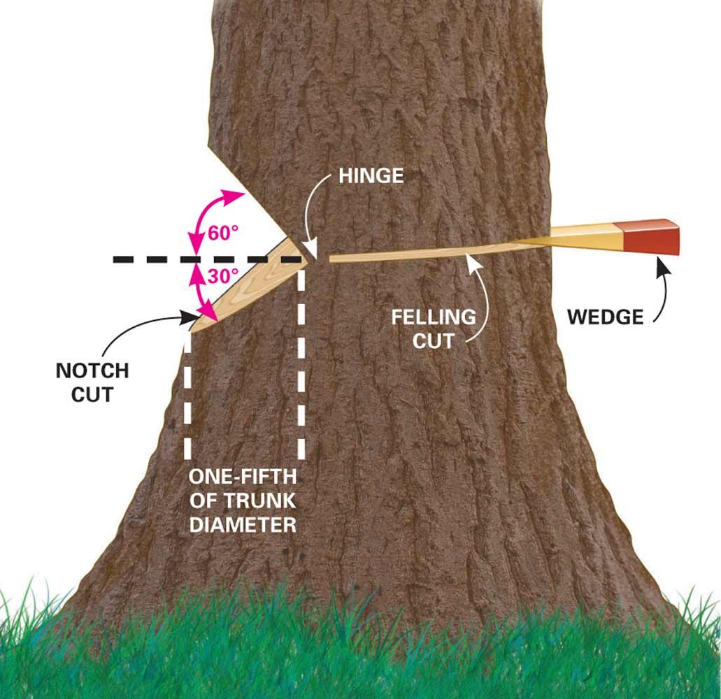 This diagram shows how to notch and fell a tree.