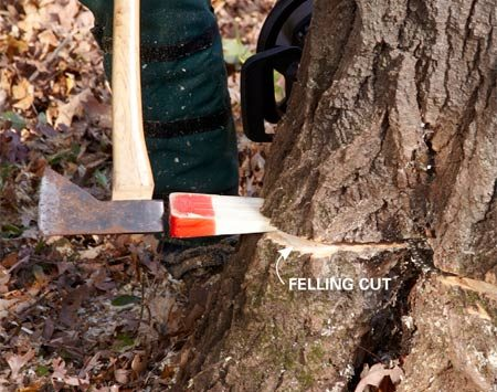 <b>Use wedges on big trees</b></br> If you have a tree that's more than 18 in. in diameter, go ahead and make your notch cut and begin the felling cut. Stop cutting as soon as you've penetrated far enough to pound wedges behind the bar. Leave the bar in the cut with the saw running, but lock the chain brake and tap in the wedges. Then finish the cut. Wedges will keep the saw from getting pinched in the cut if the tree leans back.