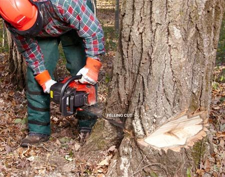 <b>Make the felling cut</b></br> Score a line connecting the apex of the notch on both sides for a cutting guide. The back cut should be parallel and even with the apex of the notch. Then make the felling cut. The instant the tree begins leaning, pull the saw free, set the chain brake and walk away along one of your escape routes, keeping an eye on the tree so you can react if it doesn't fall the way you planned. Never take your eye off a falling tree.