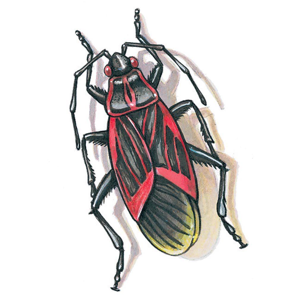 Box Elder Bug Swarm