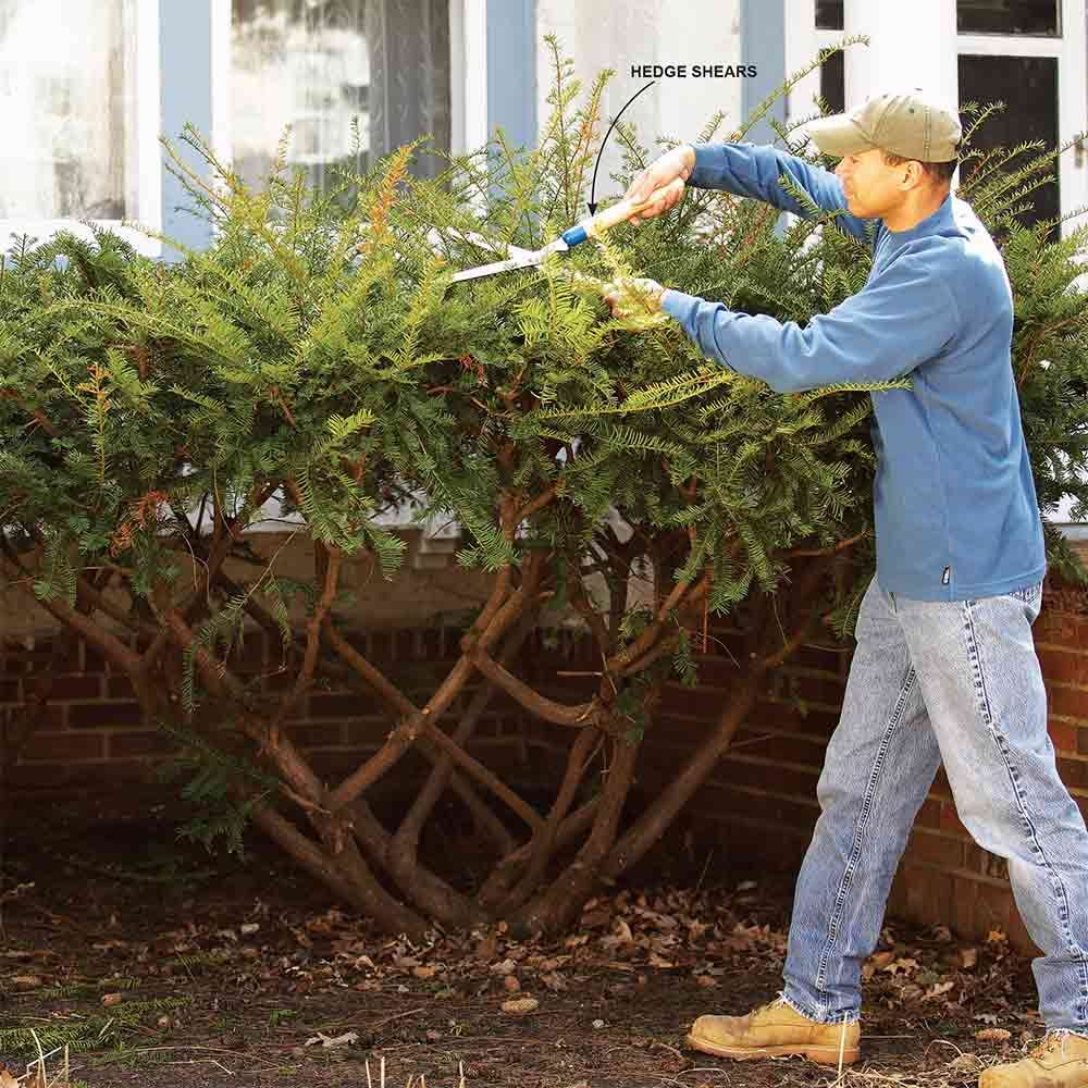 Avoid Flattop Bush Pruning