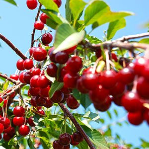 10 Delightful Facts About Cherries