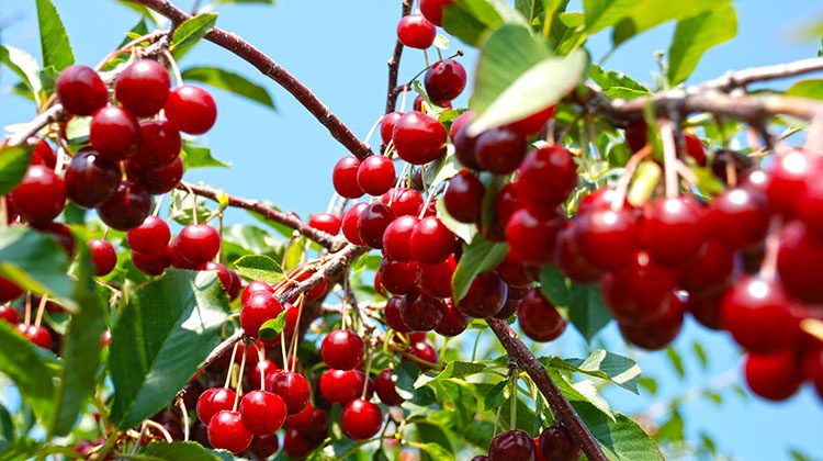 Close-up of the branches of a cherry tree that is bearing large groups of delicious red cherries and sporting bright green leaves