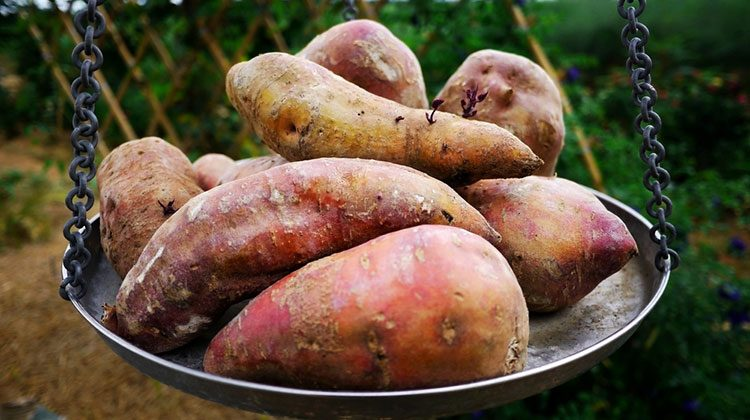 Sweet potatoes sitting in a hanging metal dish against a forest backdrop